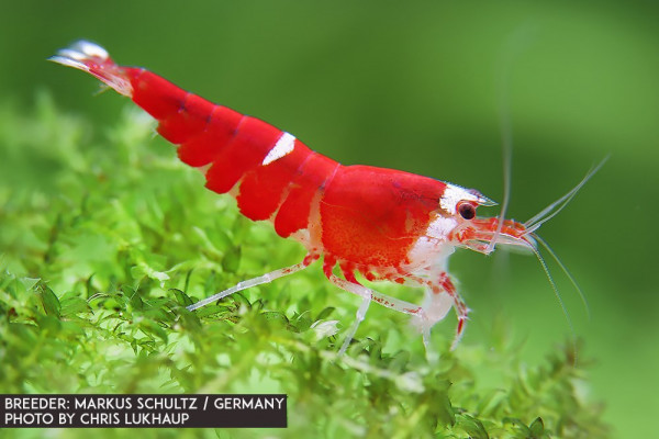 Super Crystal Red - Single Line - Garnele - DNZ