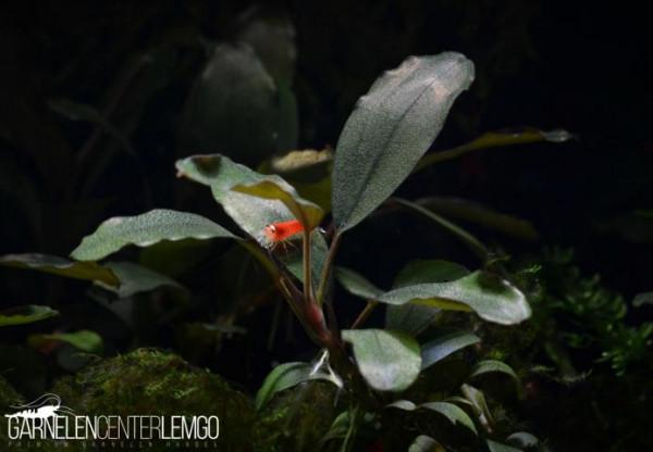 Bucephalandra Sp. ASOP, submers, auf Lava (111)