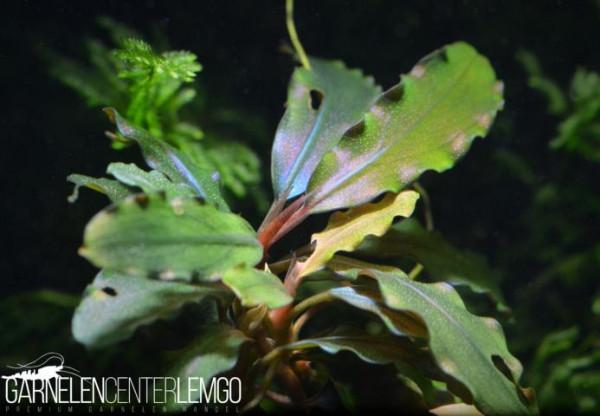 """Bucephalandra Sp. """"No Name"""", submers, Rhizom (1421)"""