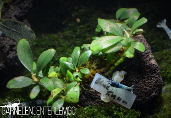Bucephalandra Sp. Blue Tinum, submers, auf Lava (1122)