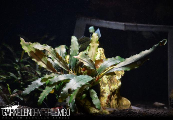 Bucephalandra Sp. Black Ghost, submers, auf Lava (732)