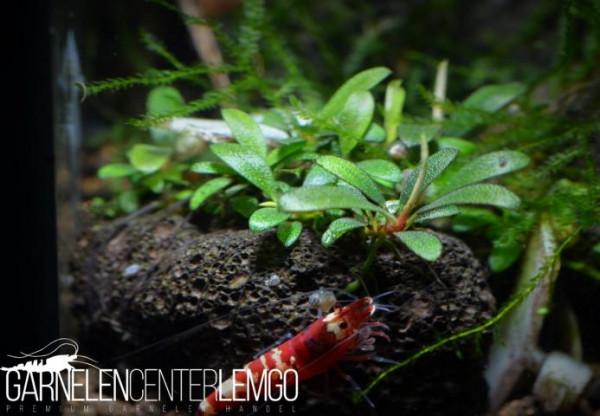 Bucephalandra Sp. Super Mini, submers, Rhizom (933)