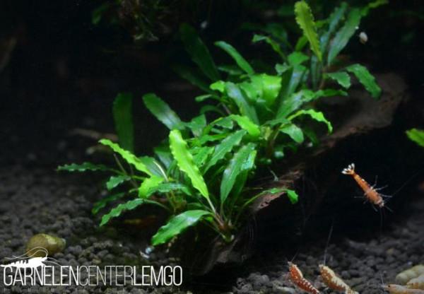 Bucephalandra Sp. Velvet Mini, submers, auf Lava (921)