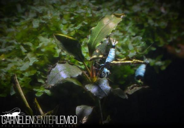 Bucephalandra Sp. Jet Black, submers, auf Lava (423)