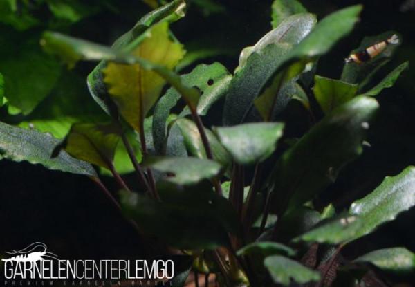 Bucephalandra Sp. Sekayam Blue, submers, auf Lava (422)