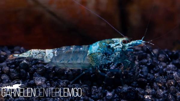 Blue Bolt Skeleton Garnele - DNZ