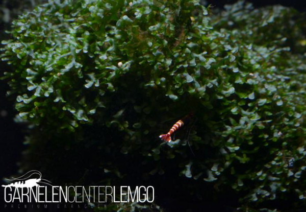 Loxogramme Sp. Wave Moss / Microsorum pteropus Prothallium (333,423)