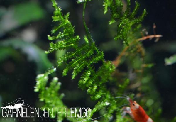 Vesicularia Sp. China Moos Mini (912) auf Lava