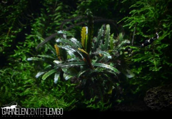 Bucephalandra Sp. Catherinae Mni, submers, auf Lava (223)