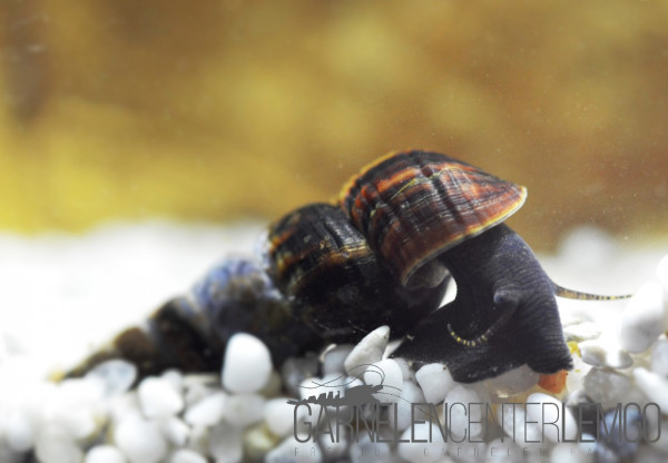Schwarze Perlhuhnschnecke (Tylomelania sp. Black)