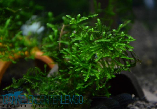 Spiky-Moos / Taxiphyllum spec. Spiky
