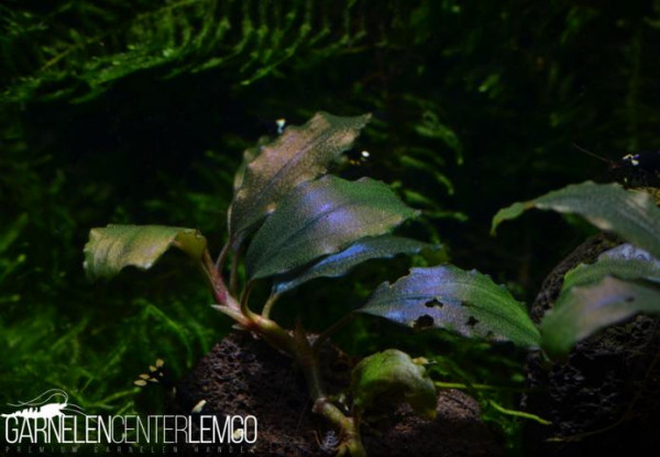 Bucephalandra Sp. Shine Blue, submers, Rhizom (1512)