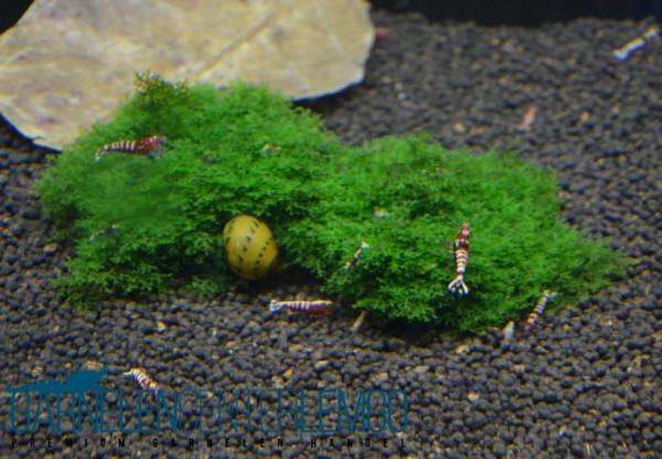 Korallenmoos (Riccardia chamedryfolia) - Portion (922)