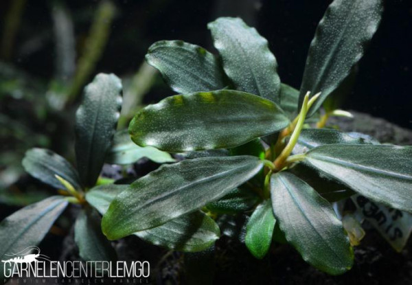 Bucephalandra Sp. Silver Suma, submers, auf Lava (621)