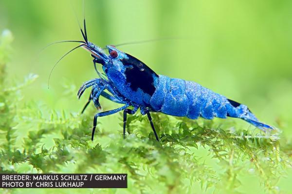 Vinfish Blue Shadow Mosura SSS / High Grade Garnele - DNZ