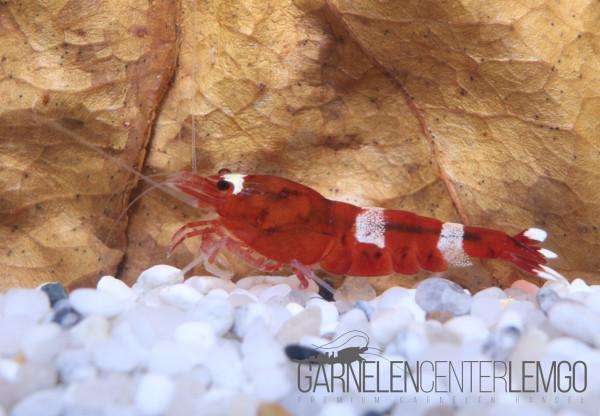 Red Ruby Garnele - DNZ