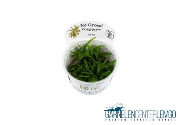 Cryptocoryne wendtii 'Green' - In Vitro