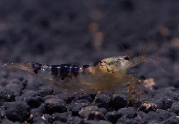 Black Calceo Bee Garnele - DNZ