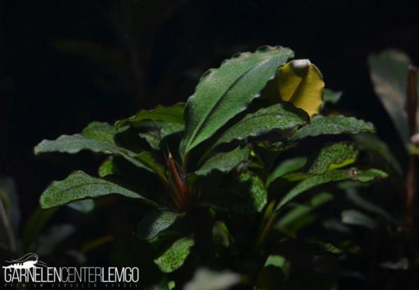 Bucephalandra Sp. Montleyana - Hades auf Lava (312,313)