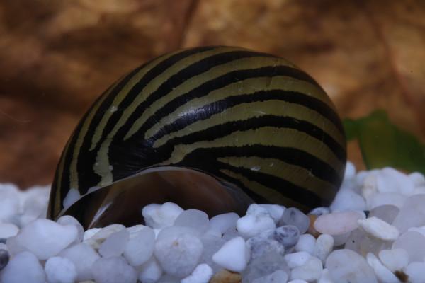 Rennschnecke Zebra