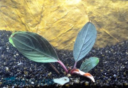 Bucephalandra Sp. Kishii - Black Achilles auf Lava