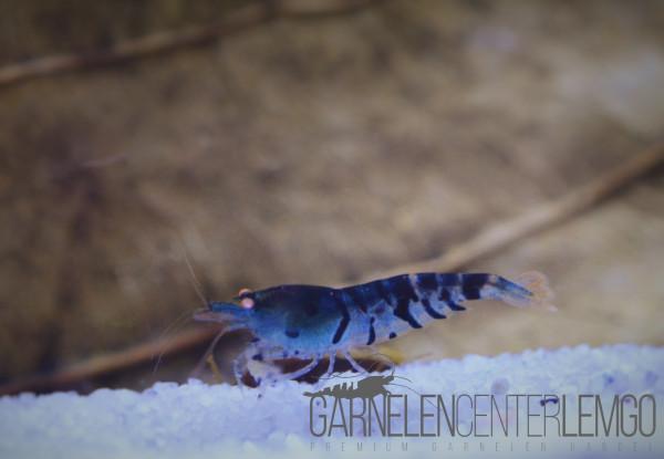 Tigergarnele Blau - DNZ