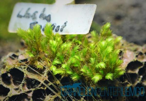 Fissidens sp. Lhaha Forest auf Lava - Rarität