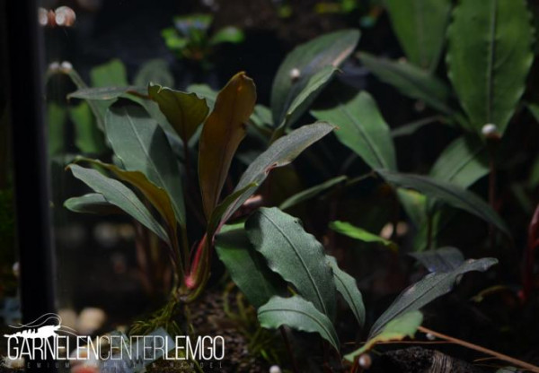 Bucephalandra Sp. Red Under, submers, Rhizom (133)