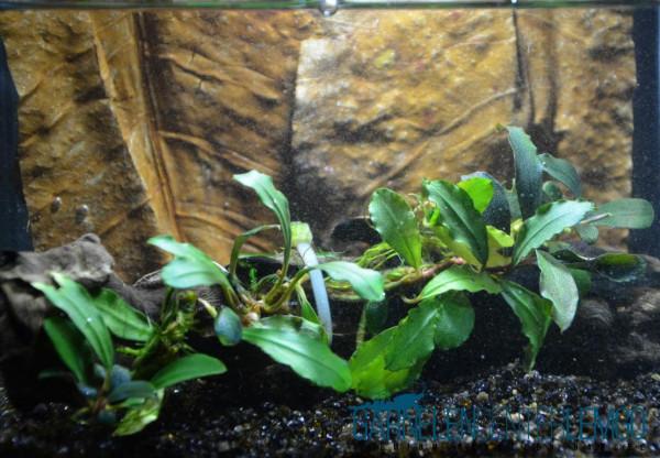 Bucephalandra Brownie Helena - Submers