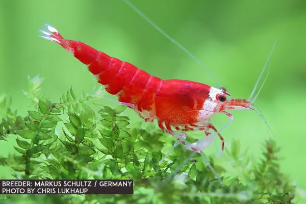 Super Crystal Red - Santa Garnele Premium - DNZ
