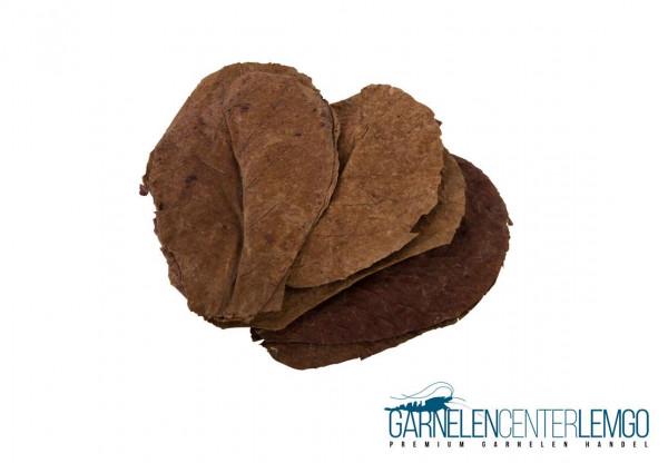 10 Seemandelbaumblätter Catappa Leaves - Medium