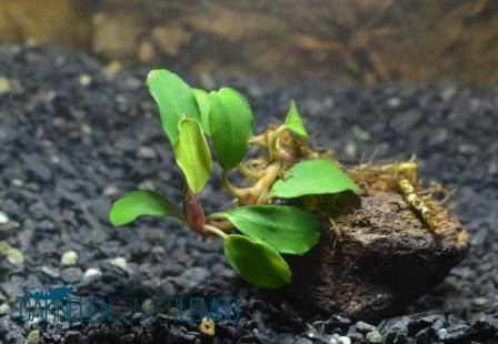 Bucephalandra Sp. Pygmeae - Brownie Blue Rhizom233,433)