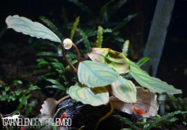 Bucephalandra Sp. Pitik Koprol, submers, Rhizom(512)