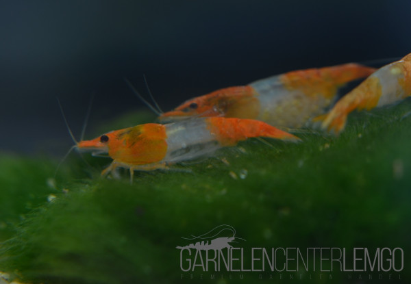 Orange Rili Garnele - DNZ