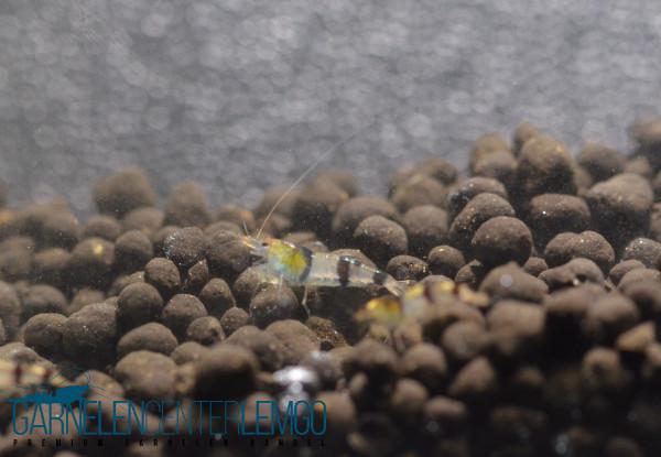 Trifasciata Garnele (Wildform) - DNZ