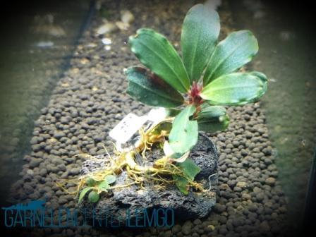 Bucephalandra Sp. Paris Rhizom - Selten (614)