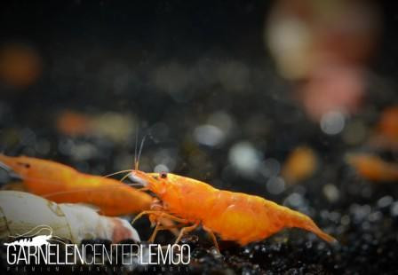 Orange Sakura Premium Garnele - DNZ