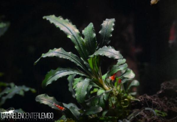 Bucephalandra Sp. Medusa auf Lava (113)
