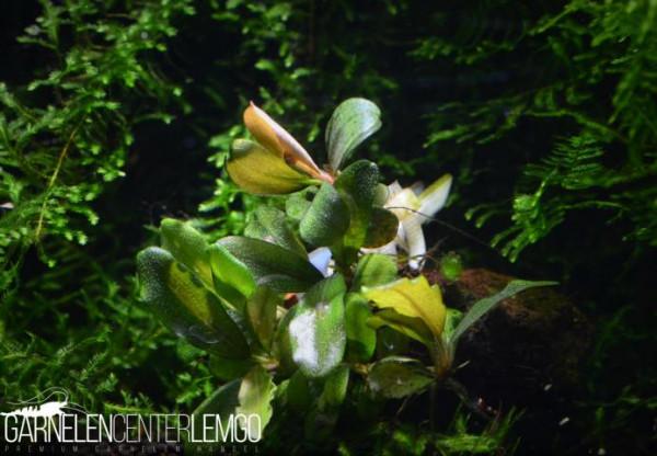 Bucephalandra Sp. Brownie Jade, submers, Rhizom (1712)