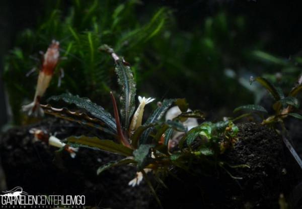 Bucephalandra Sp. Belindae, submers, auf Lava (413)