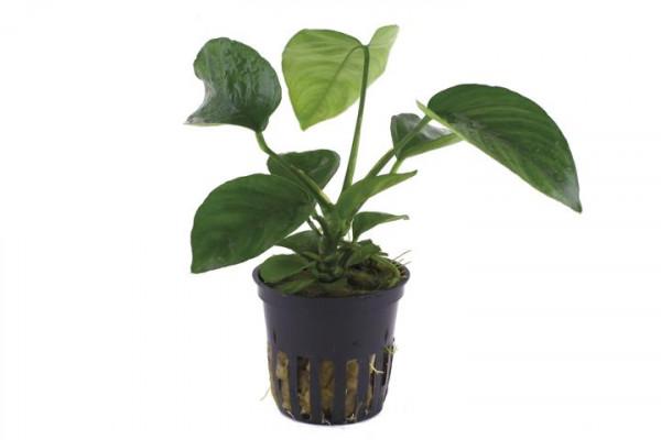 Anubias Barteri Caladiifolia - Caladium-blättriges Speerblatt - 1311