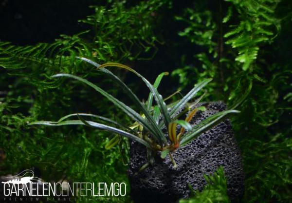 Bucephalandra Sp. Filiformis (Rosmarin), submers, Rhizom (1511)