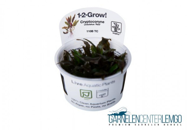 Cryptocoryne undulatus Red - In Vitro