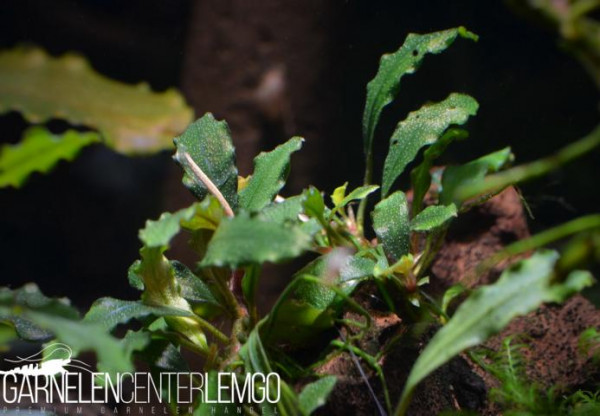 Bucephalandra Sp. Black Centipede Mini, submers, auf Lava (122)