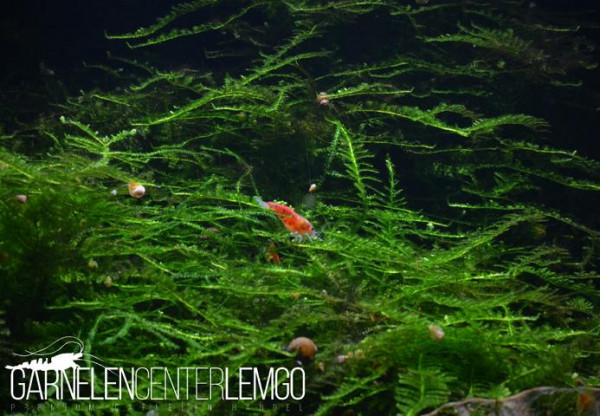 Creeping Moos - Vesicularia sp. (1122)