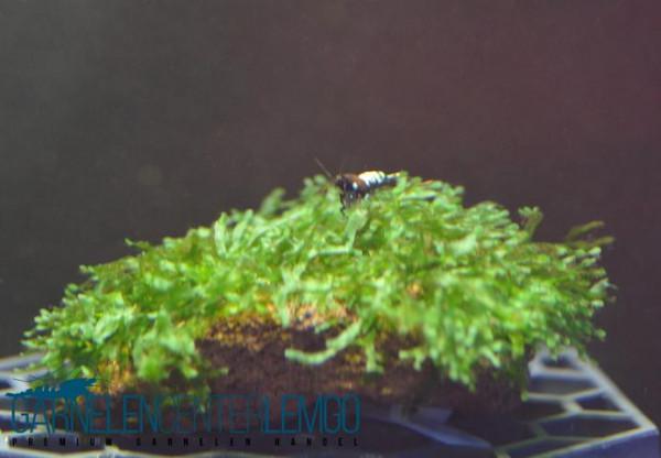 Wave Moss - Microsorum pteropus Prothallium (333,423)