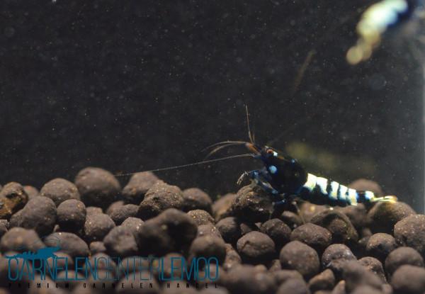 schwarze Taitibee Garnelen - DNZ