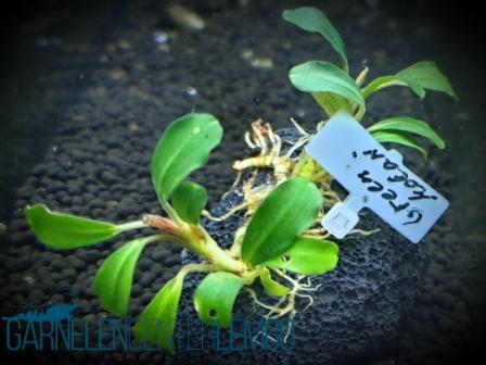 Bucephalandra Sp. Green Melawi Rhizom (613)