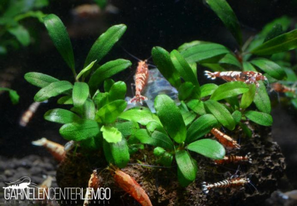Bucephalandra Sp. Brownie Red Mini, submers, auf Lava (924)