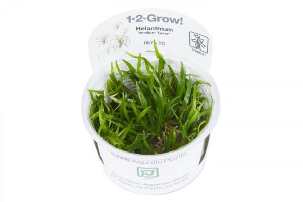 Helanthium tenellum Green ( Echinodorus tenellus) - In Vitro - B-Ware